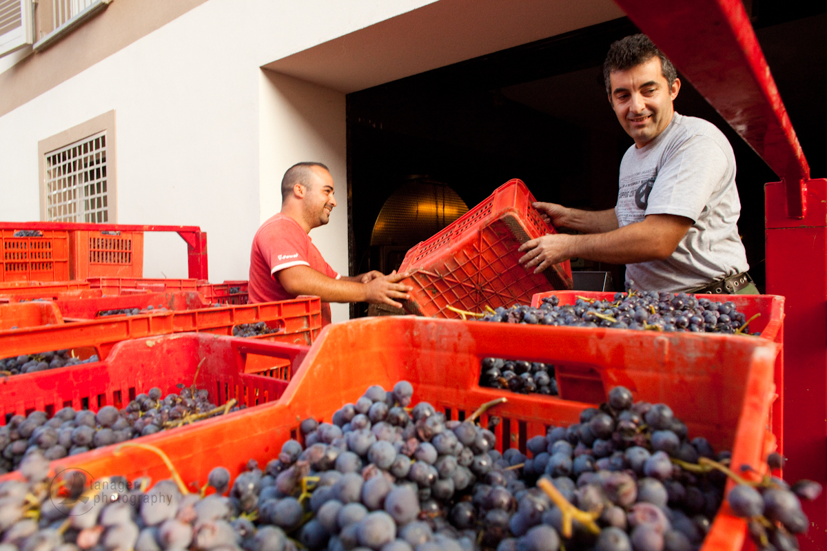Grape harvest, Barolo, Piedmont, Italy