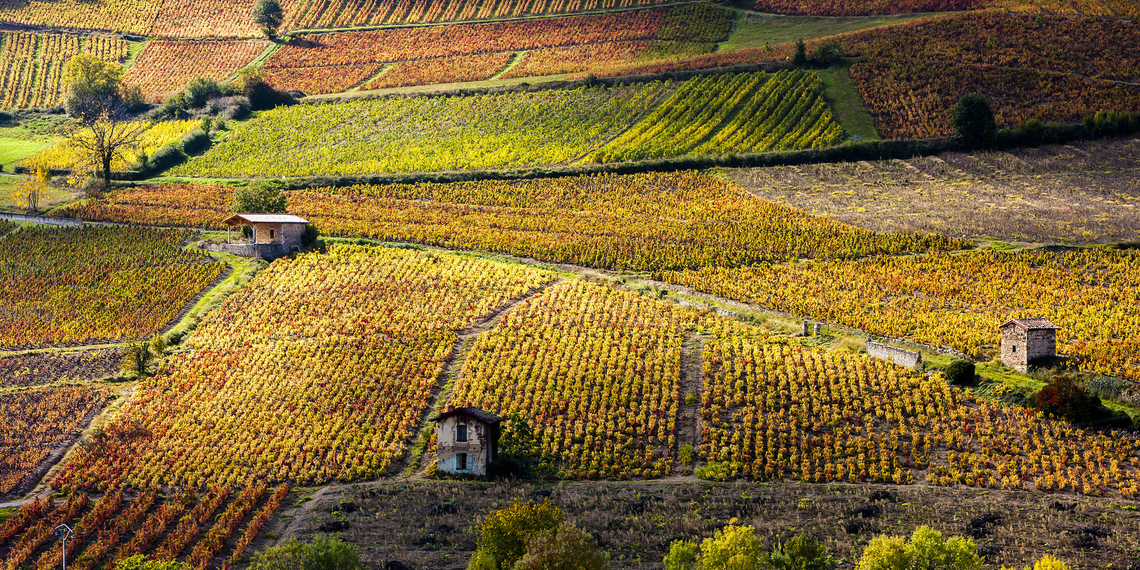 vineyards near Beaujeu, Beaujolais, Rhone-Alpes, France, Essential Winemakers