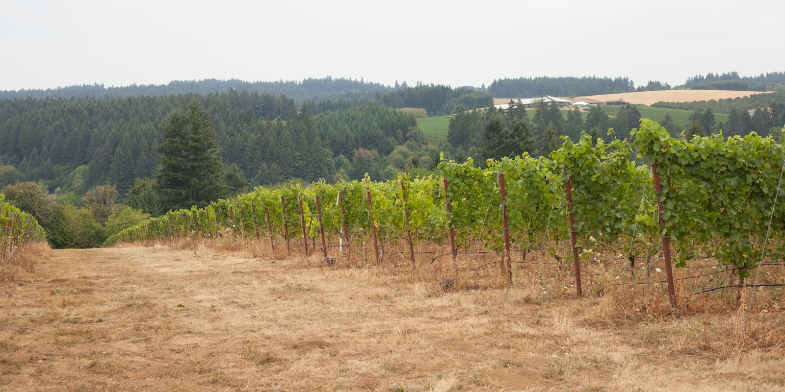 Vineyards at Raptor Ridge Winery, Chehalem Mountains AVA, Oregon