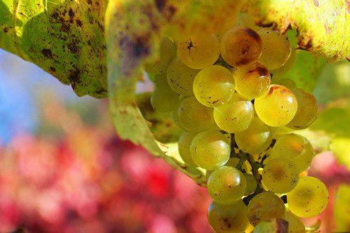 Chardonnay grapes on the vine. ©John Morgan / Flickr user. Licensed via Creative Commons.