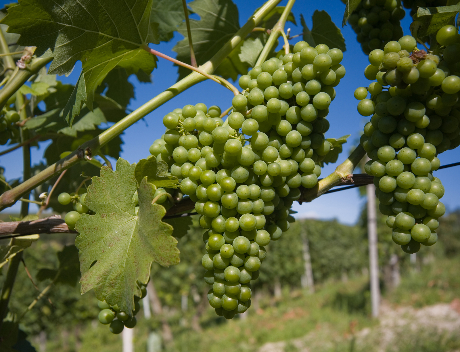 close up of grapes in a vineyard in Langhe Roero Italy with a beautiful blu sky