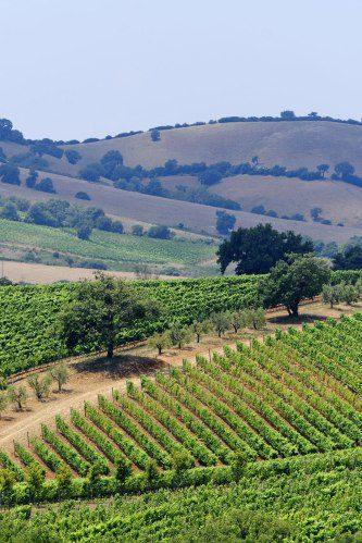 Maremma Tuscany vineyard landscape