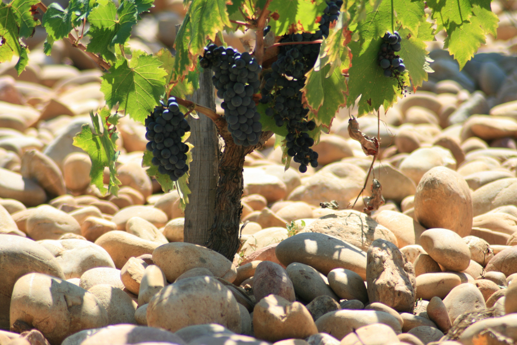 The vineyards of Châteauneuf-du-Pape are covered with round aluvial stones which radiate heat to ripen the grapes. They were deposited in the area by glaciers. / ©Jean-Louis Zimmerman. Flickr user, licensed via Creative Commons.