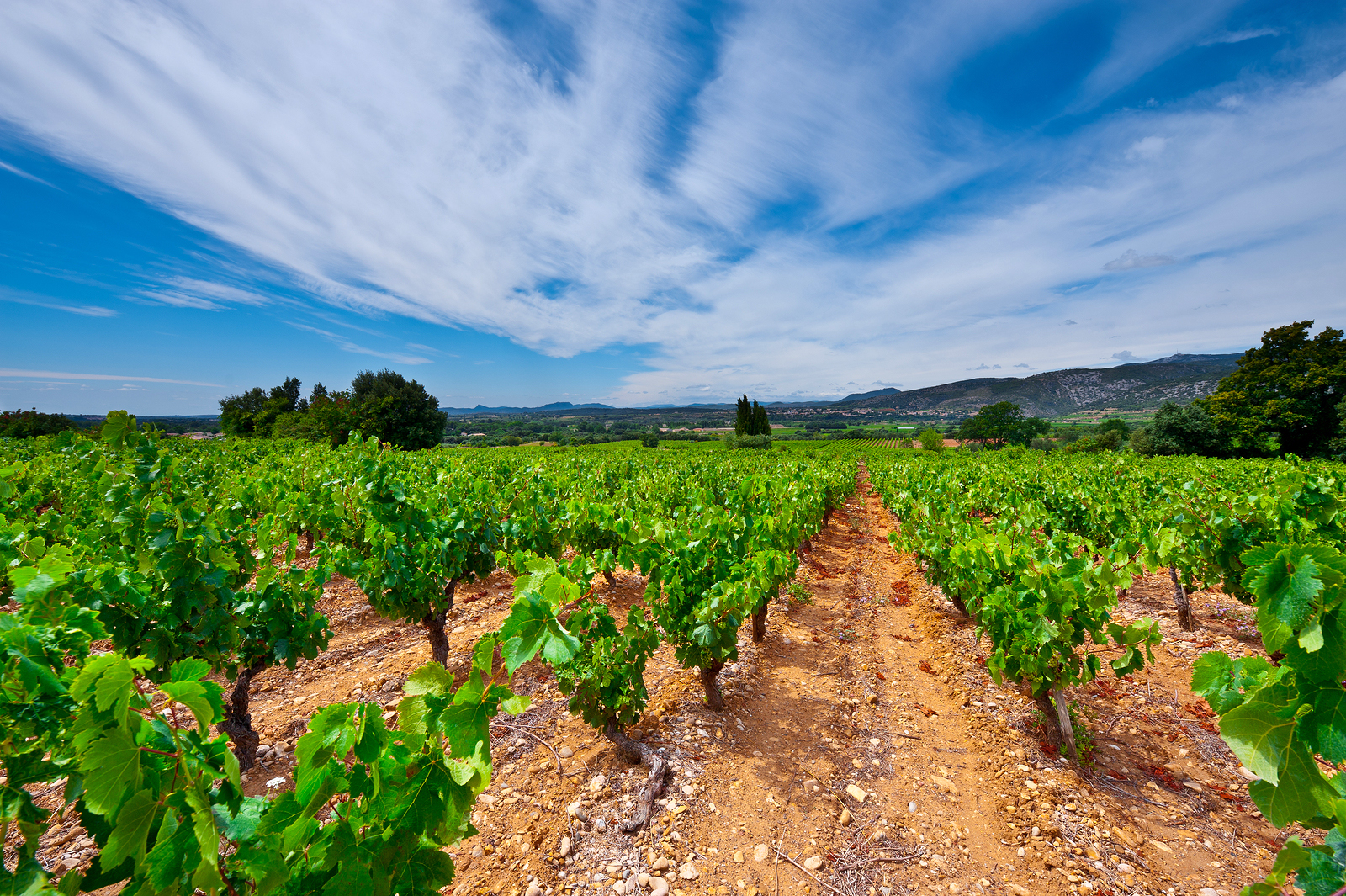 Young Vineyard in Southern France Region Rhone-Alpes