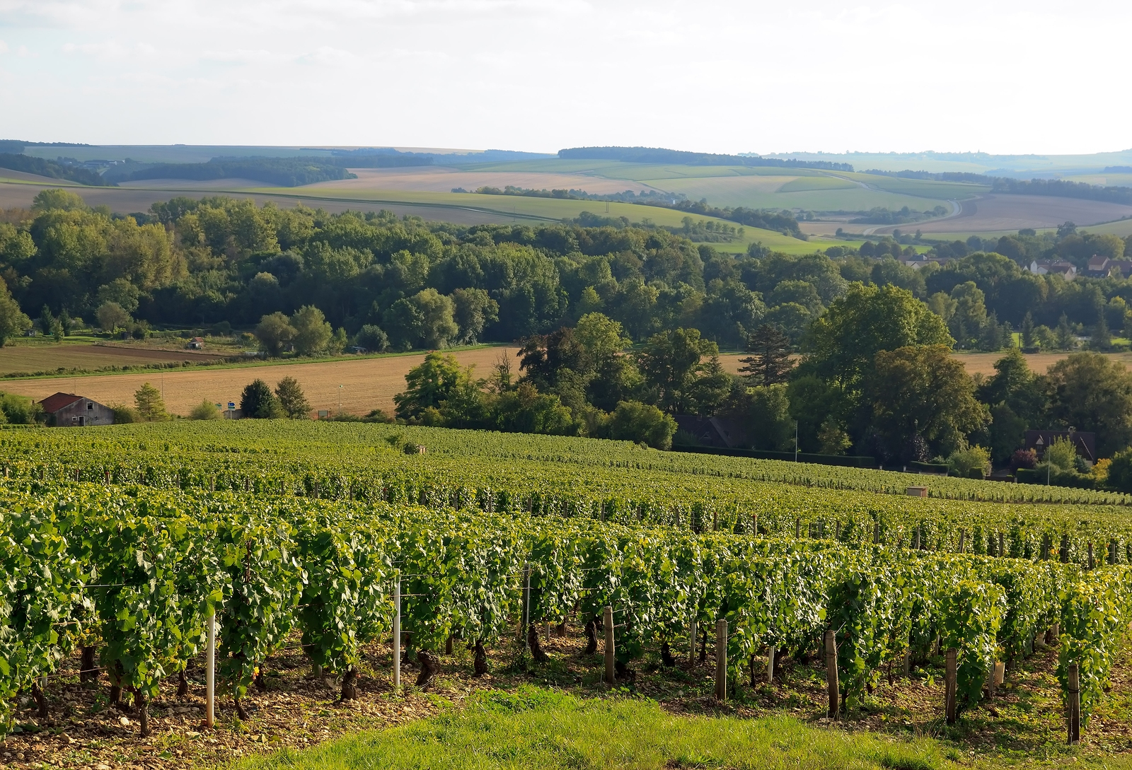Vineyard of the hillsides of Chablis.