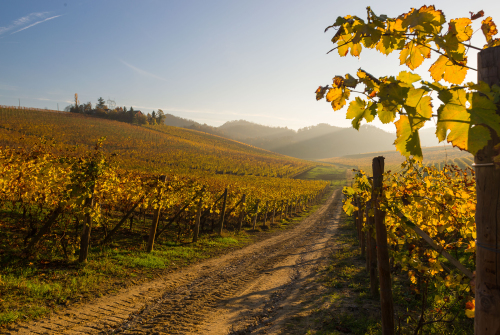 Yellow italian vineyard in autumn situated in Gavi, Piedmont.