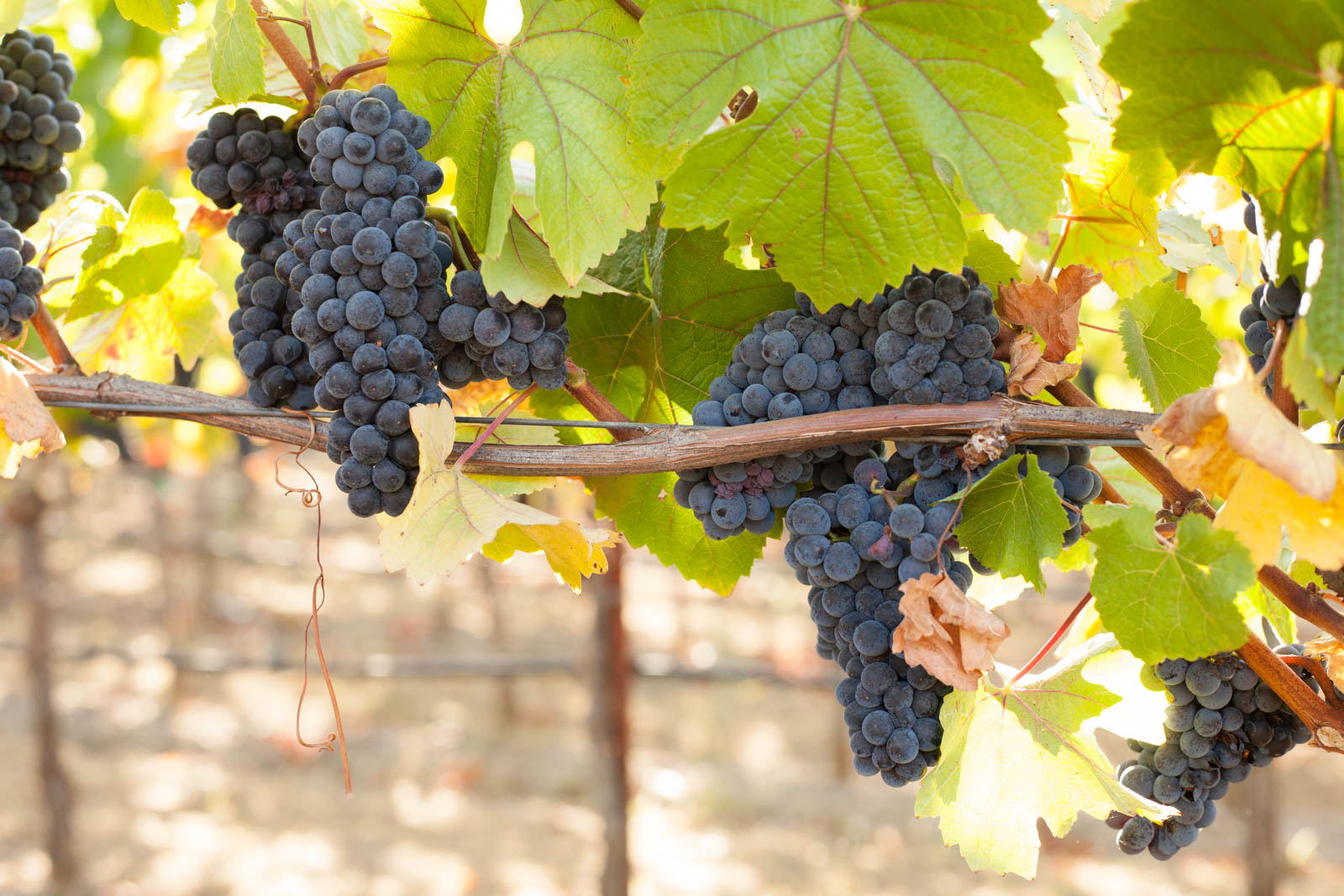 Pinot Noir grapes in the estate vineyard at Arista Winery. ©Kevin Day / Opening a Bottle