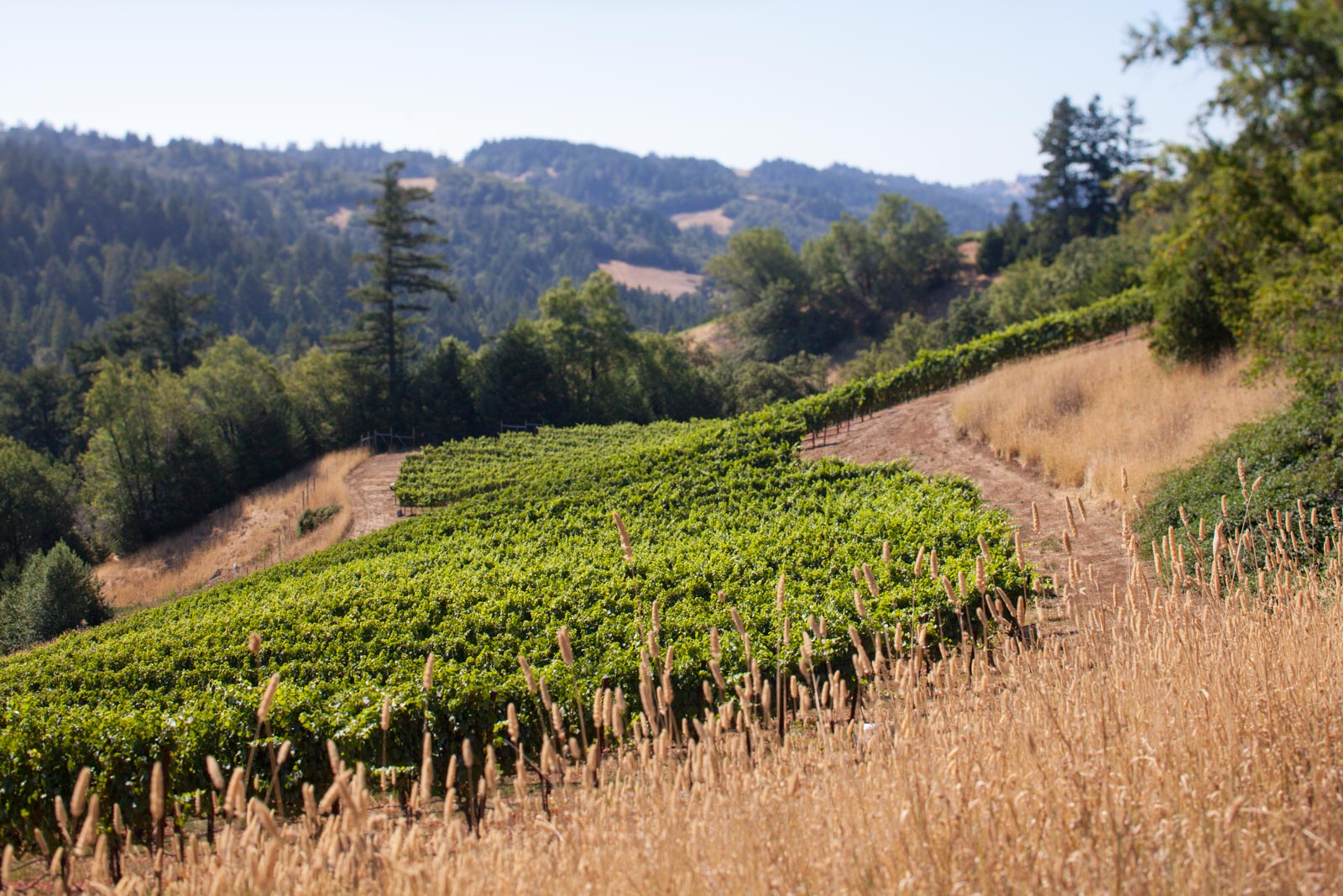 The lower stretches of the Fort Ross Vineyard, Sonoma Coast, Seaview, Jenner, California. ©Kevin Day / Opening a Bottle