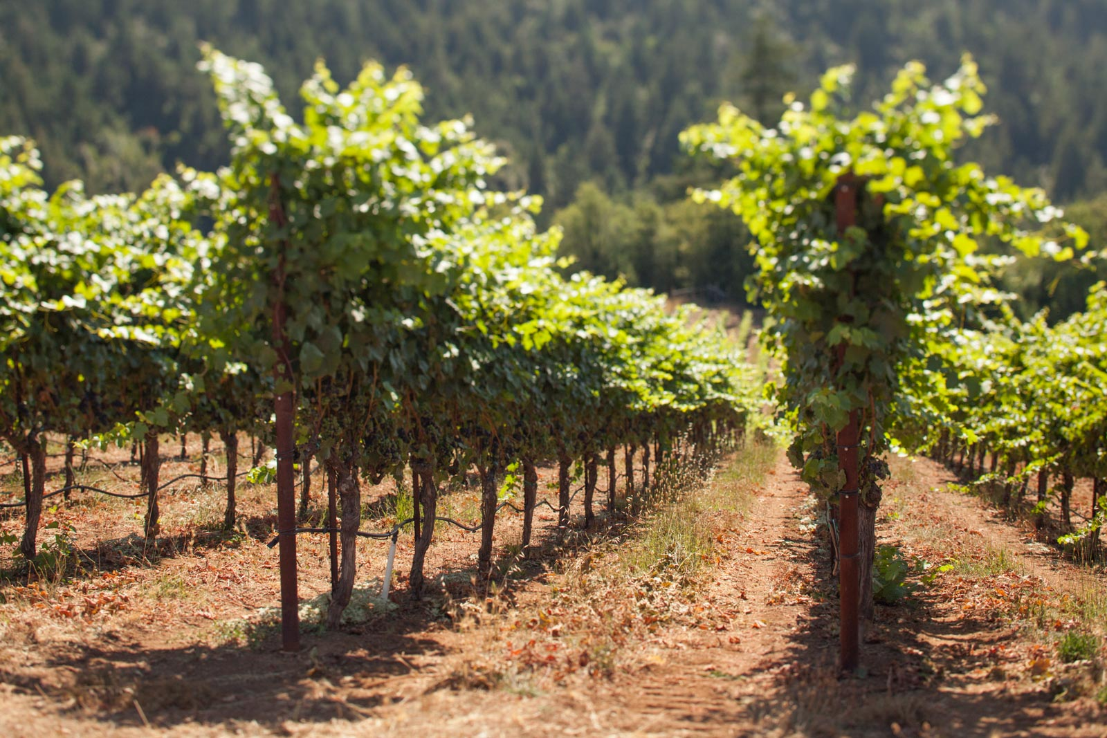 Vineyards at Fort Ross Vineyard, Sonoma Coast, near Jenner, California . ©Kevin Day / Opening a Bottle