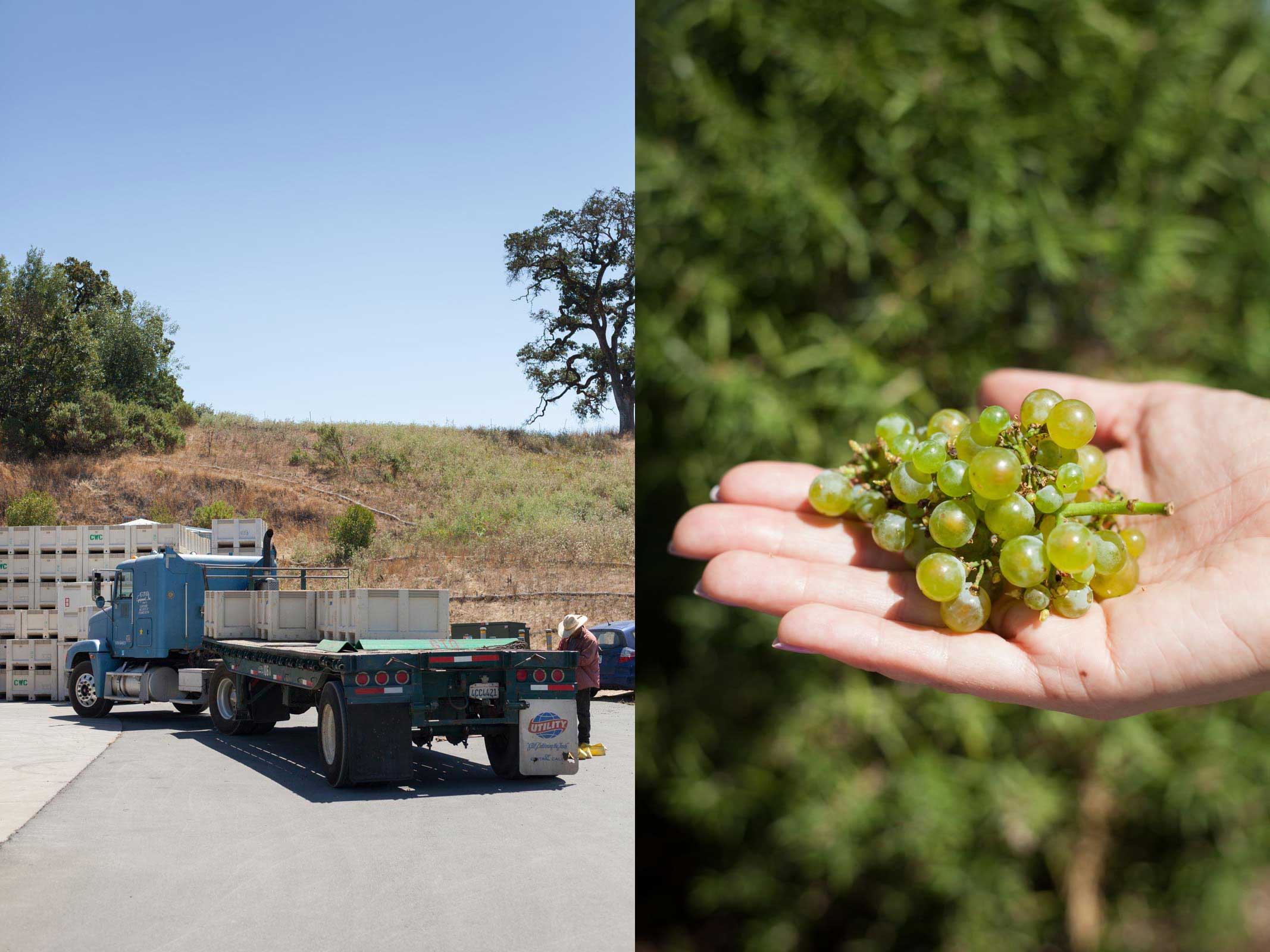 Just-harvested Chardonnay grapes delivered to Copain from Monterrey. ©Kevin Day / Opening a Bottle