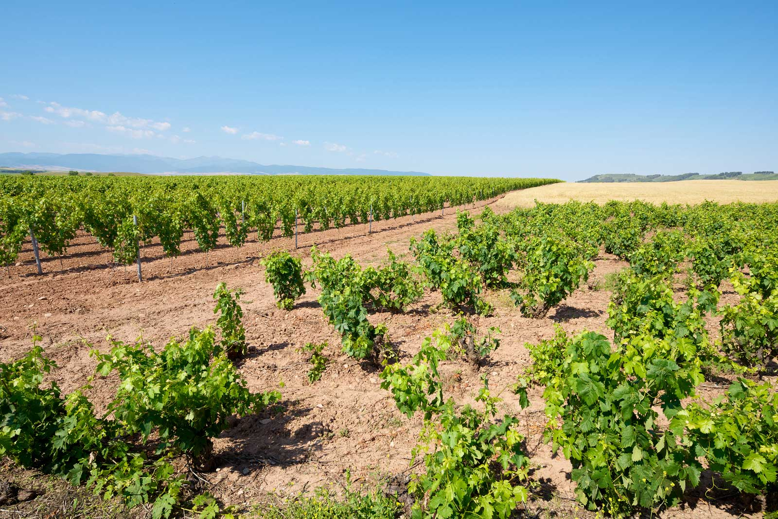 Bush vines of Grenache in Rioja, Spain.