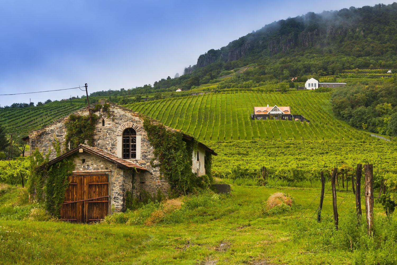 A vineyard landscape in the Badacsony wine region of Hungary. Hárslevelü
