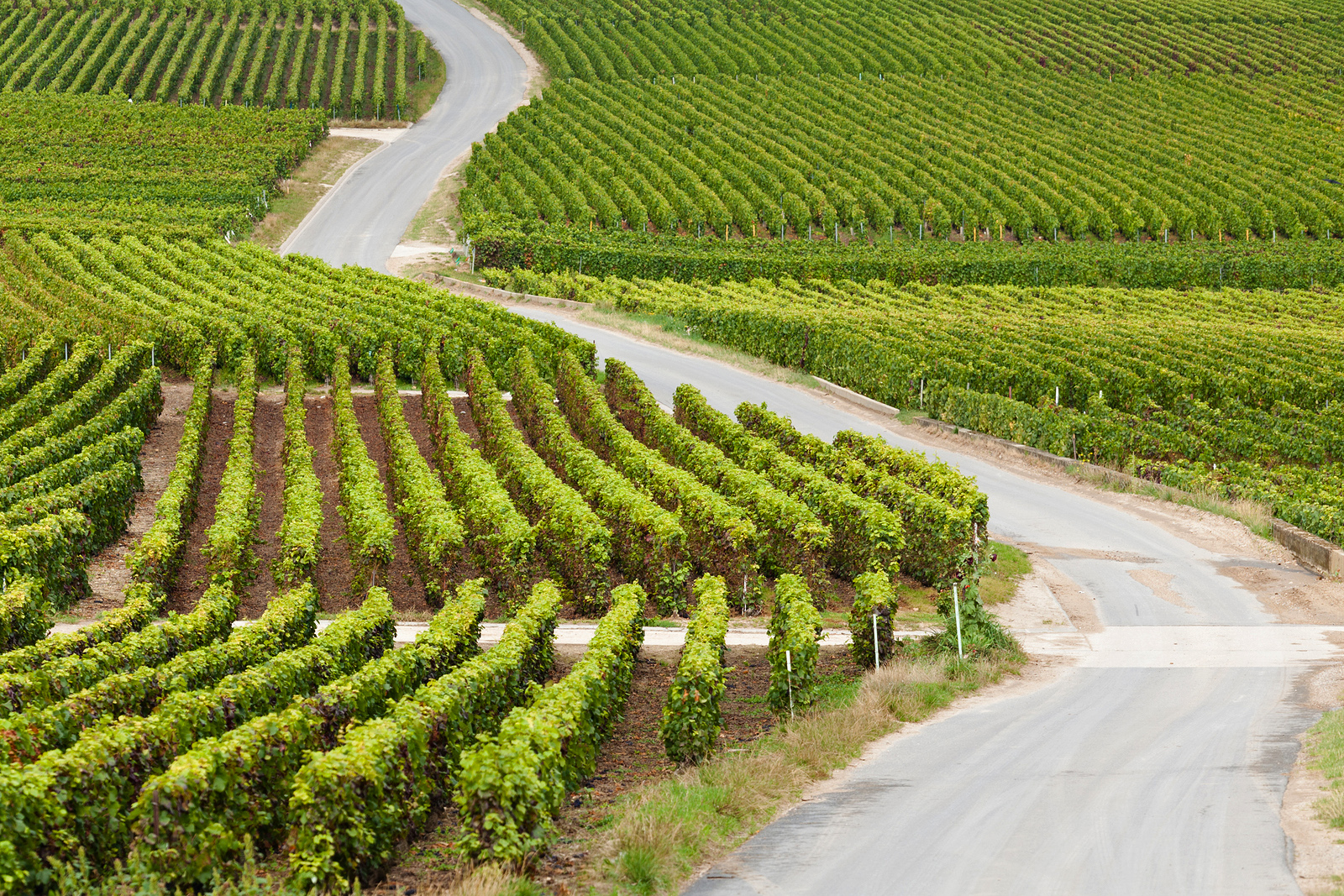 A road zig zags through a vineyard in the Champagne Region of France.