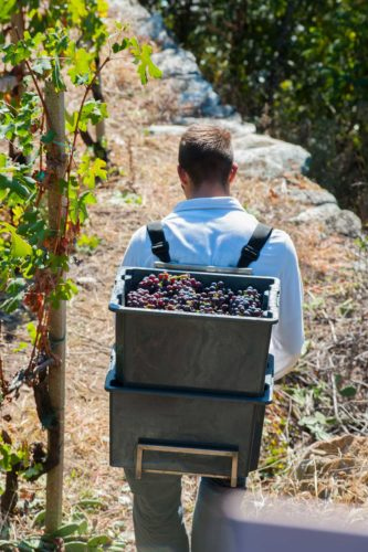 Harvesting grapes in the Valtellina region of Northern Italy. © ARPEPE