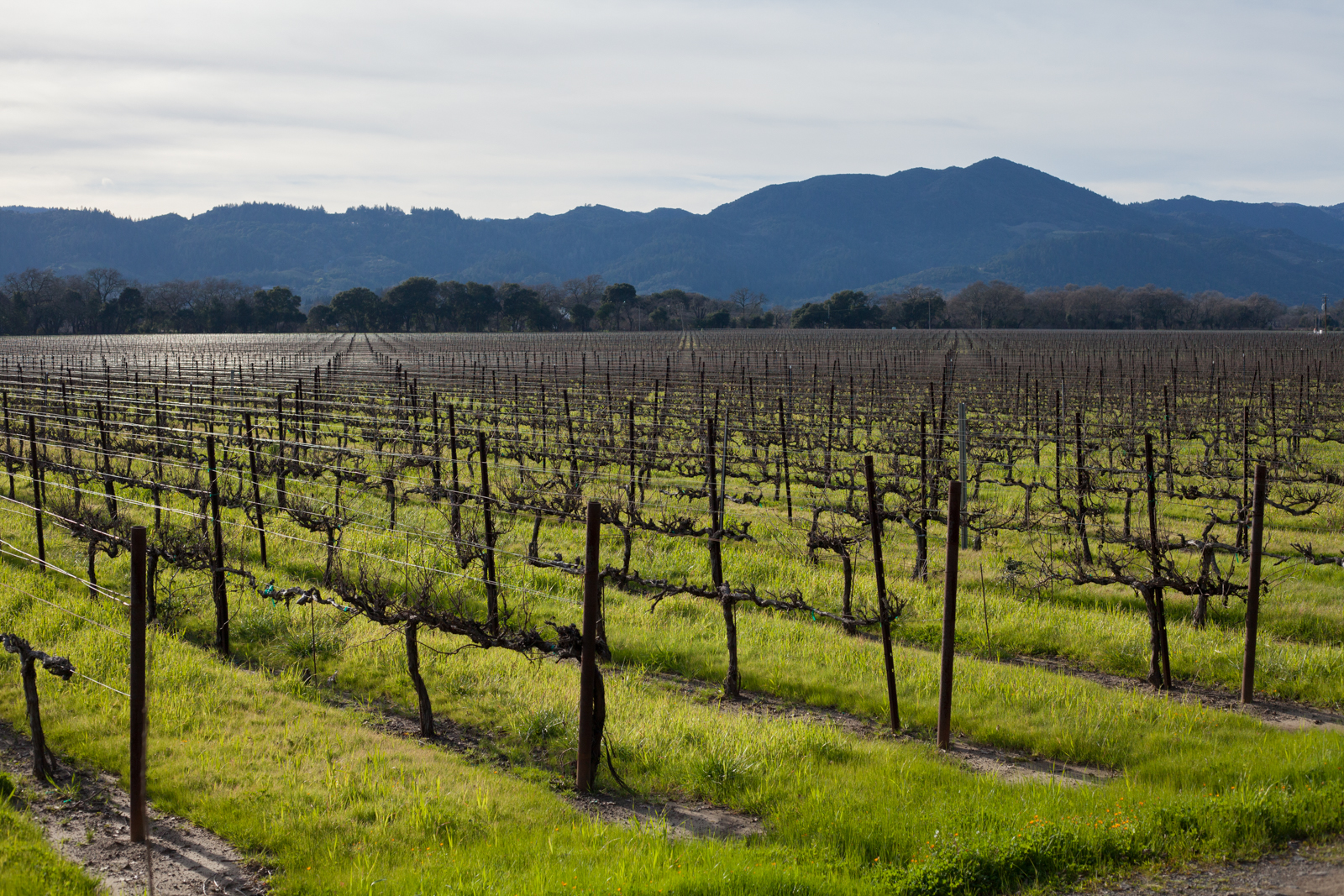 The Gamble Vineyard soaks up late winter sun in the heart of Napa Valley. ©Kevin Day / Opening a Bottle