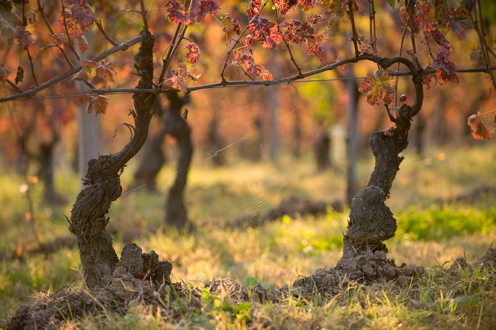 Old vine Barbera, La Crena, Barbera d'Asti ©Vietti