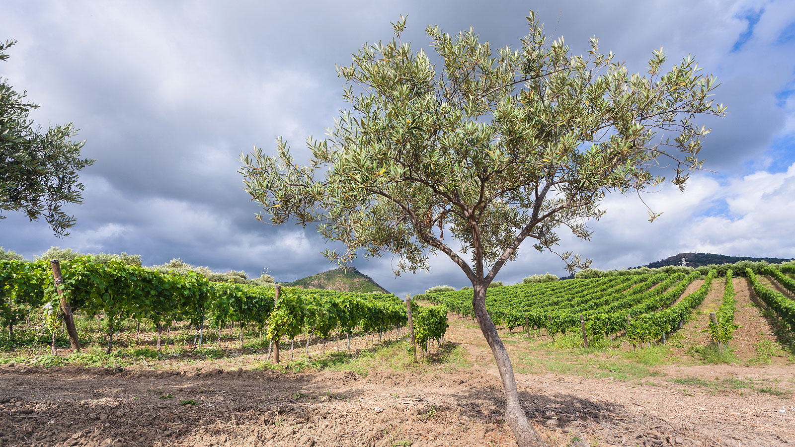 Olive tree and vineyard, Sicily, italy.