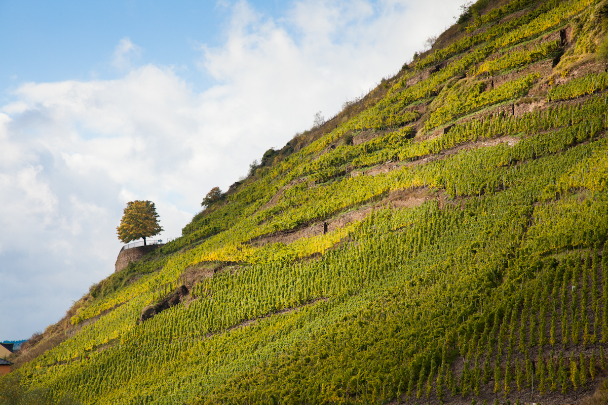 Riesling vineyards, Mosel River Valley, Germany