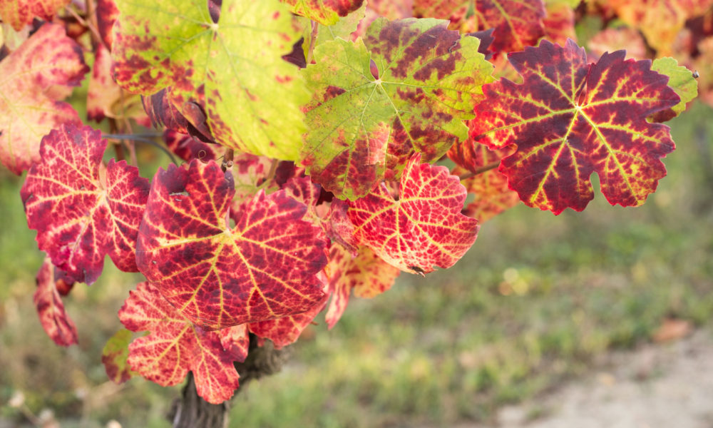 Nebbiolo leaves in Neive, Barbaresco, Italy