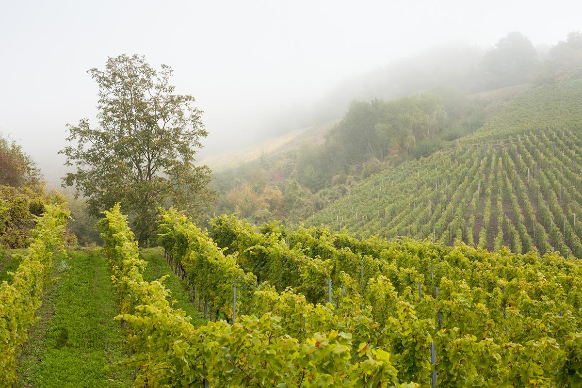 The vineyards of Ediger-Eller, Germany