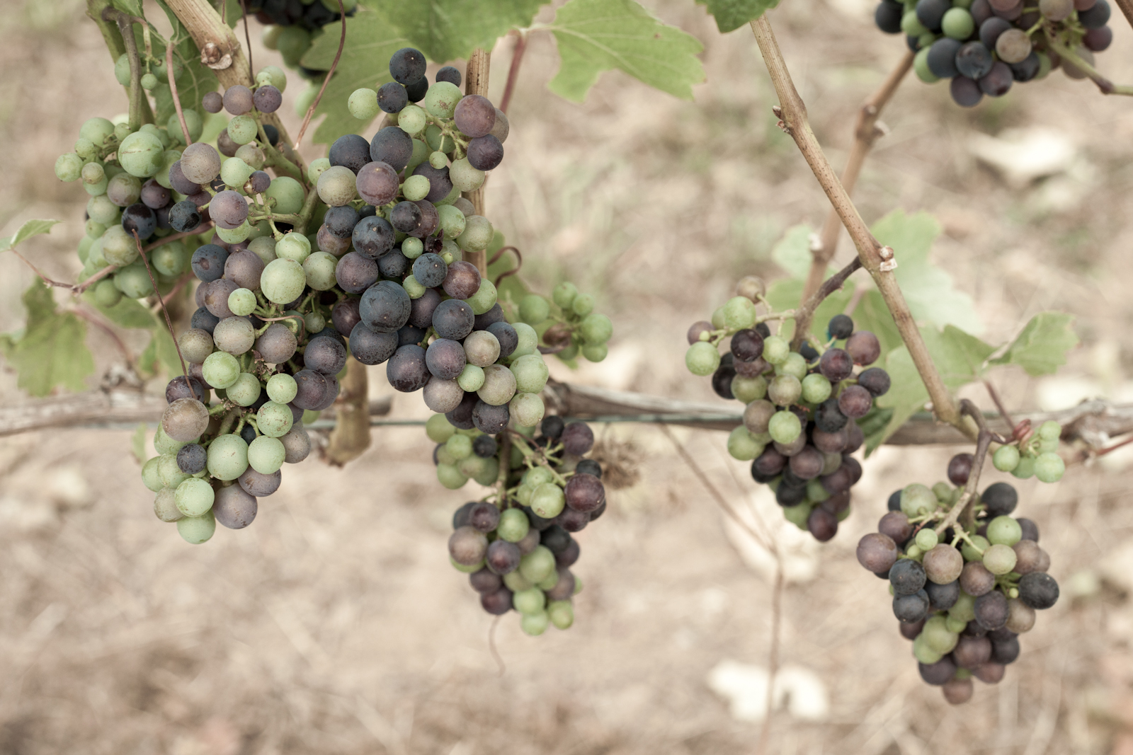 Pinot Noir grapes at véraison, Willamette Valley, Oregon