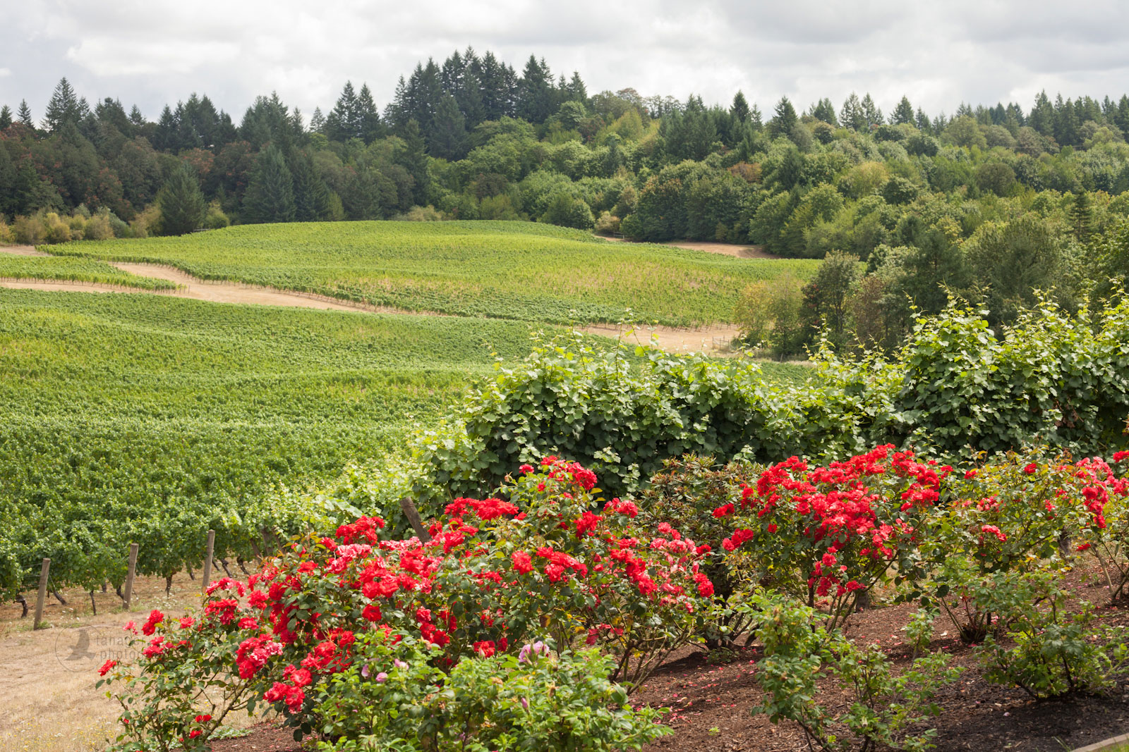 Elk Cove Vineyards, Estate Vineyard, Gaston, Oregon
