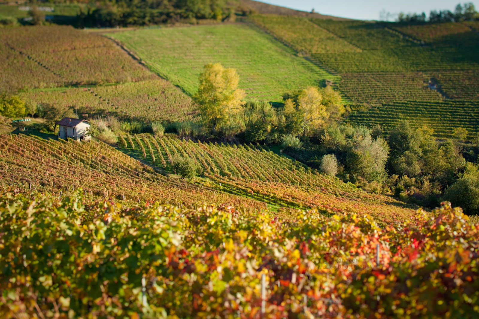 Vineyard in fall foliage near Barolo, Italy.