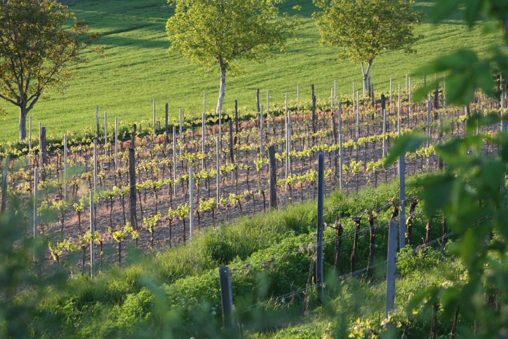 Pratsch vineyards in Austria