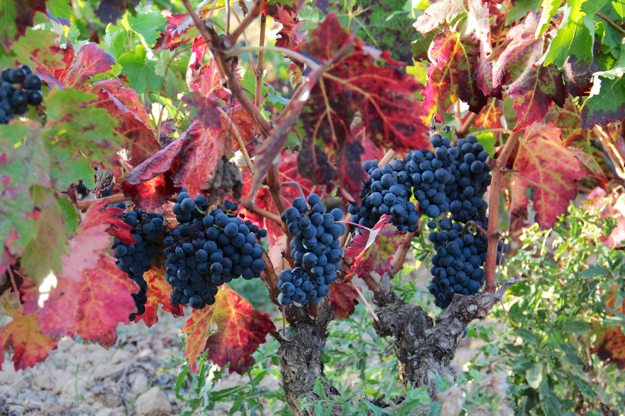 Tempranillo grapes. Flickr user ©Robert McIntosh / Creative Commons License.