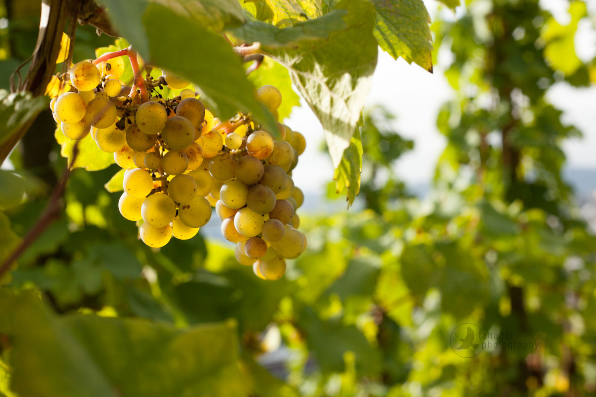 Riesling grapes near Bernkastel-Keus, Germany