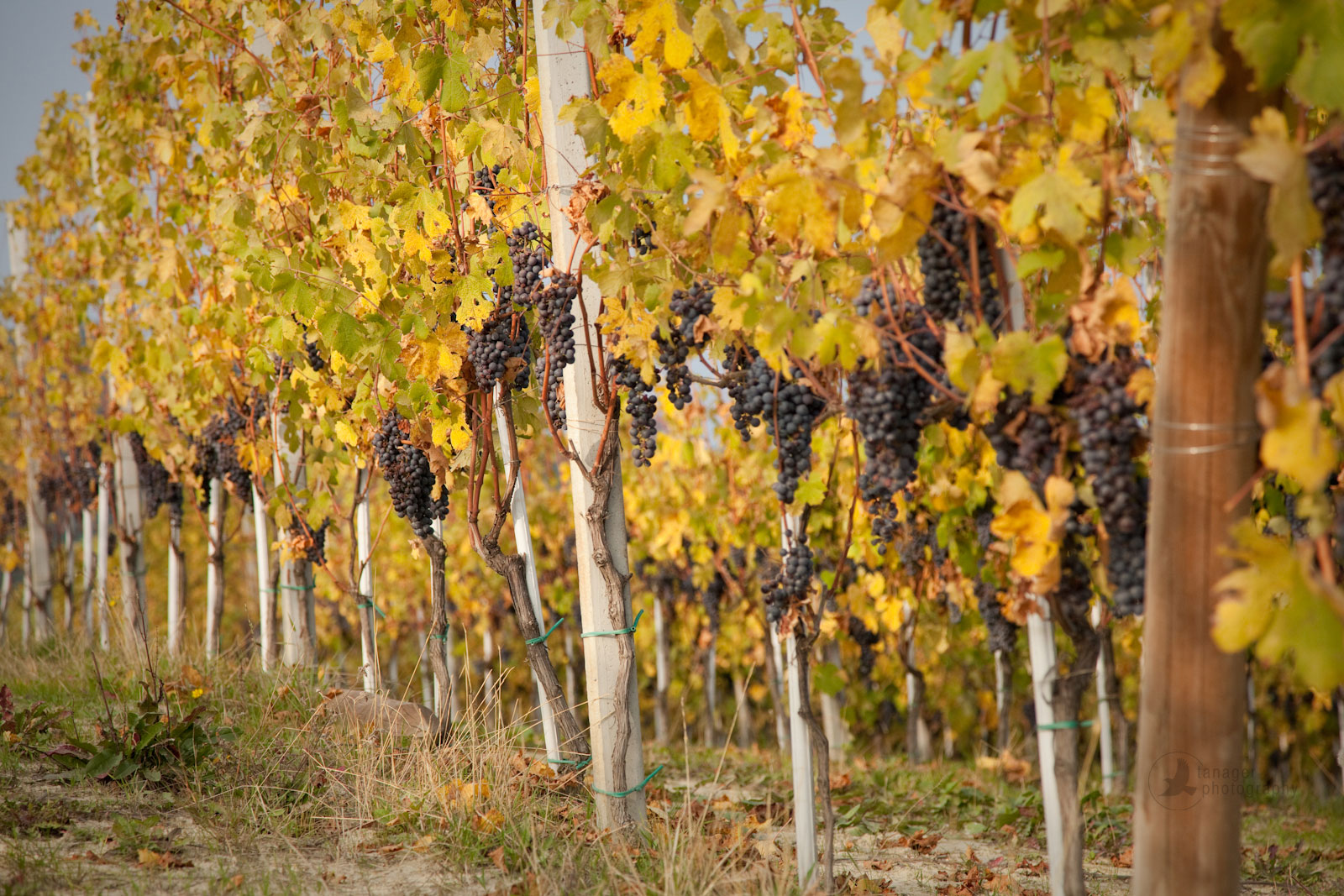 Nebbiolo grapes hanging from vineyards in La Morra, Italy