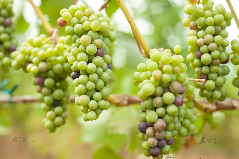 Pinot Noir wine grapes at veraison, Oregon