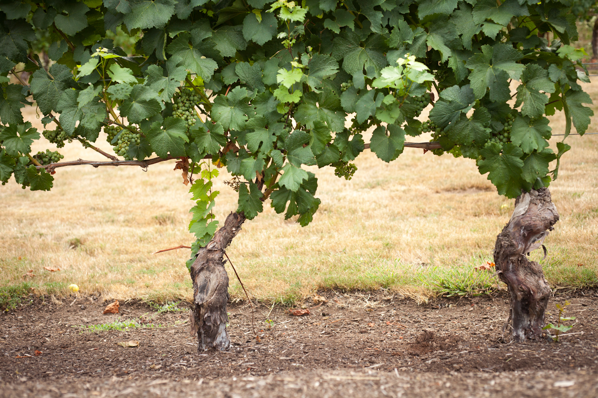 Pinot Gris grapes growing at Elk Cove Vineyards, Oregon