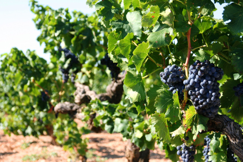 Grenache grapes in Gigondas. ©sibling, Flickr user. Licensed via Creative Commons