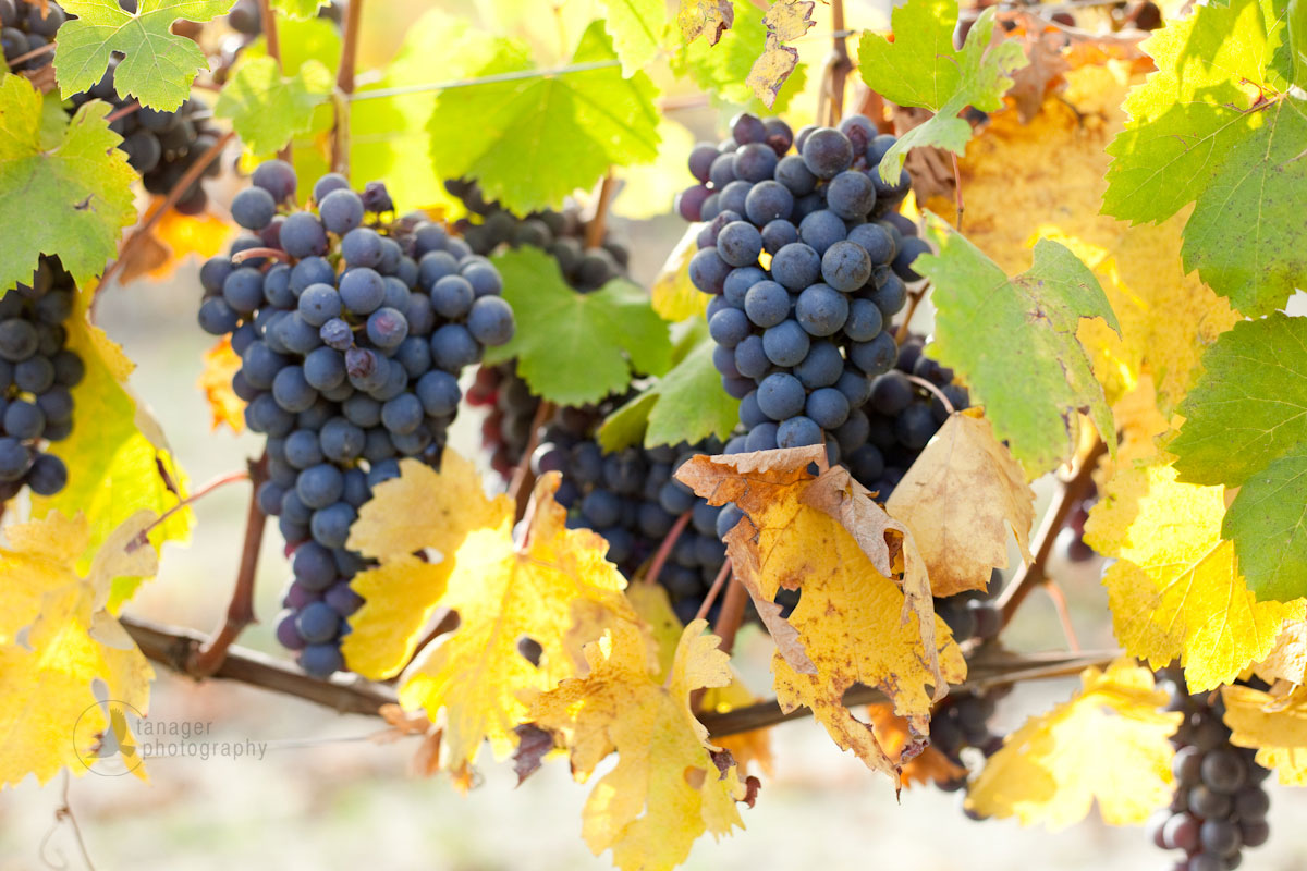 Nebbiolo grapes. / ©Kevin Day, Tanager Photography