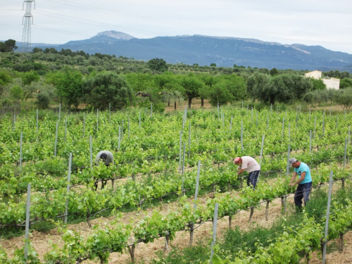 Harvesting in the Planella vineyard, Montsant DO, Spain. / ©Cellars Joan d'Anguera