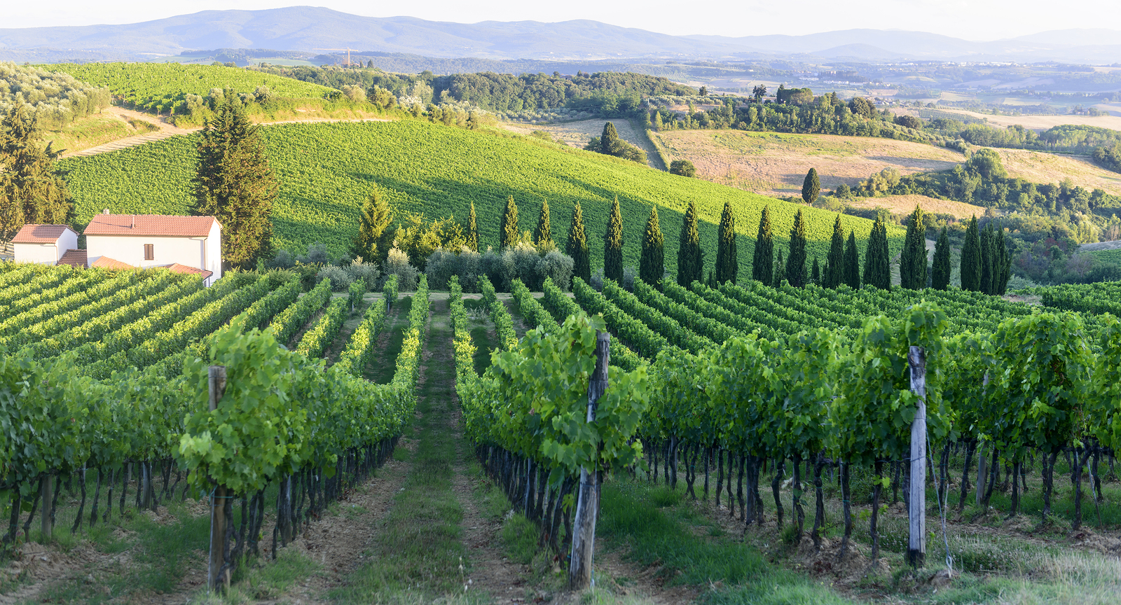 Sangiovese vineyards in Chianti (Florence Tuscany Italy) with vineyards at summer