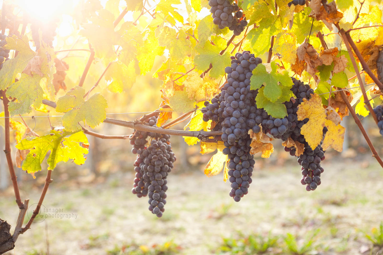 Nebbiolo grapes backlit by the setting sun in Piedmont, Italy
