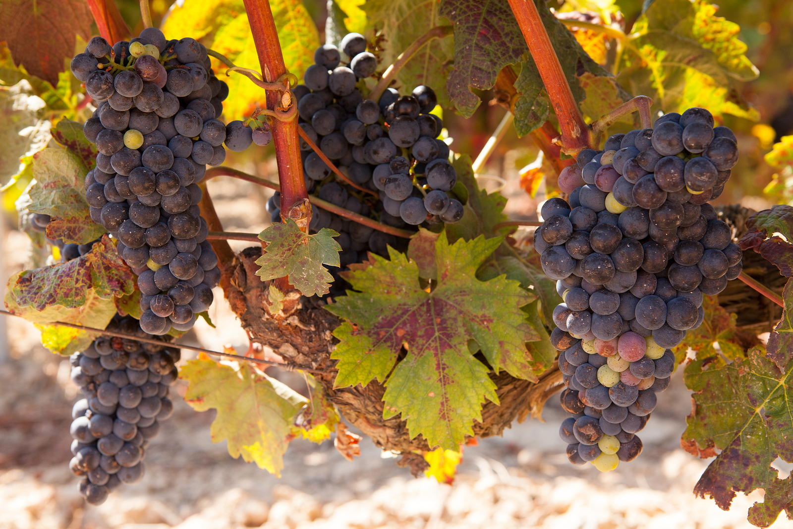 Bunches of tempranillo grapes in the Rioja region of Northern Spain, approaching harvest time.