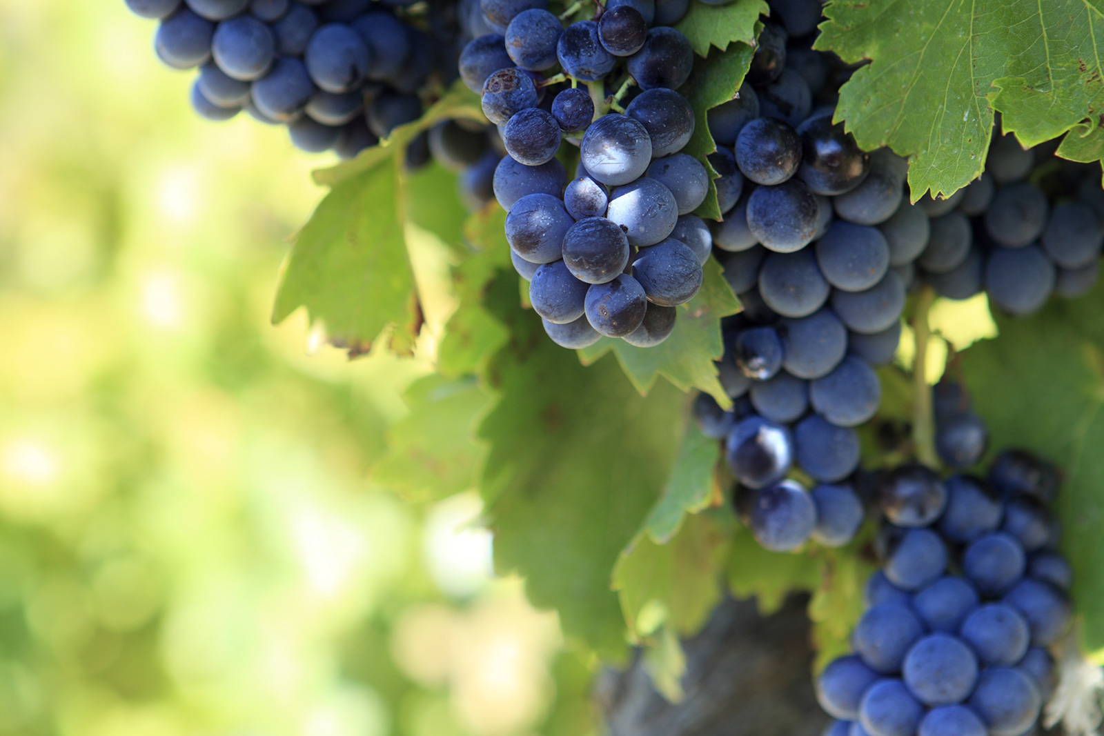 Grenache grapes growing in the Southern Rhône of France