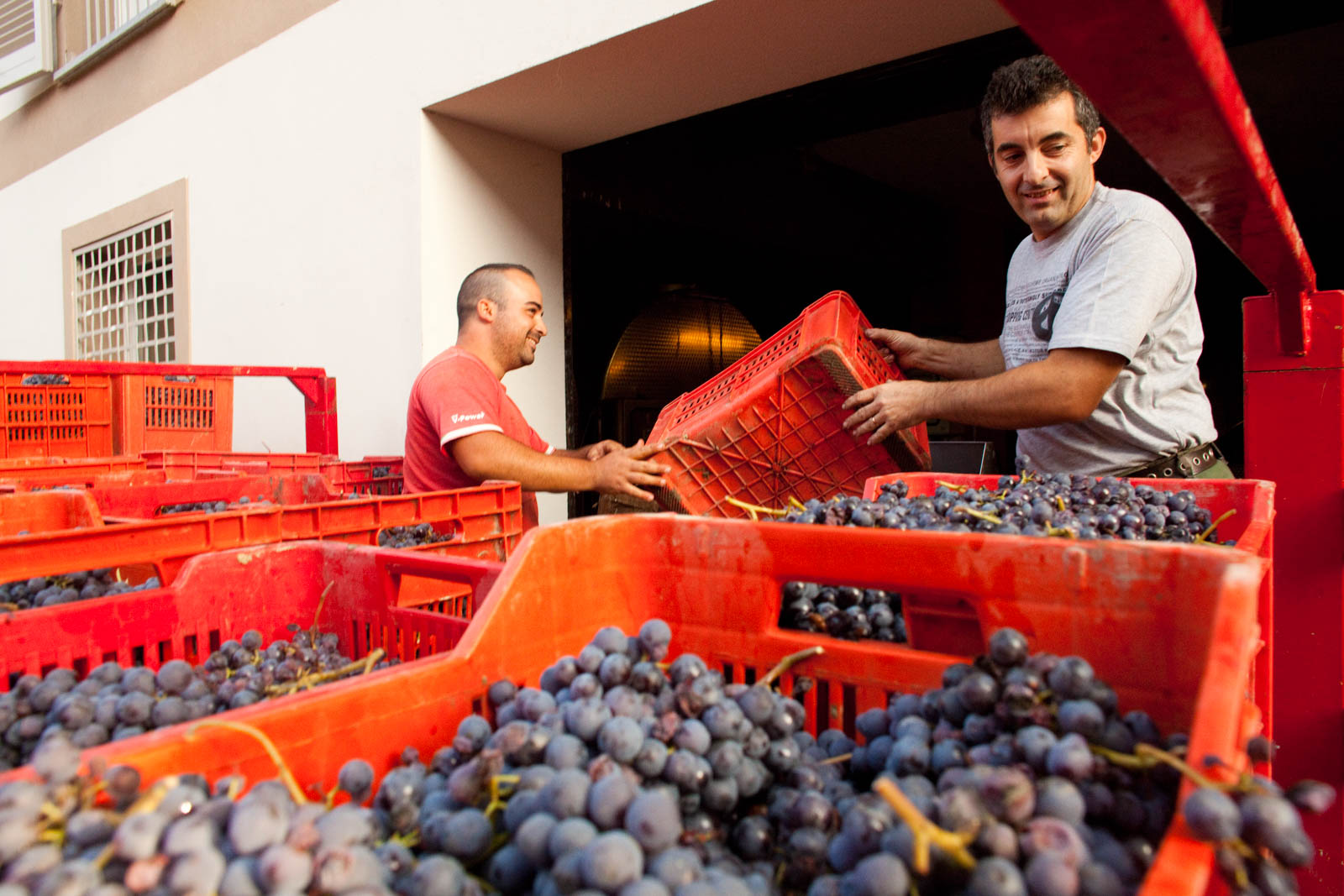 Grapes being harvested in Barolo, Italy. ©Kevin Day/Tanager Photography