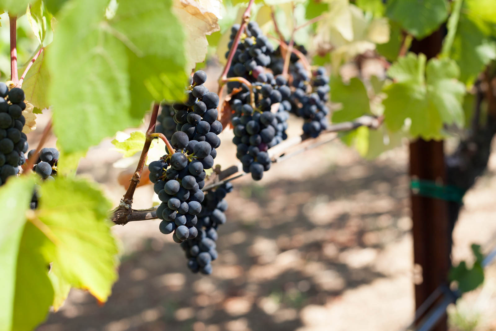 Pinot Noir grapes at Arista Winery, Russian River Valley, California. ©Kevin Day / Opening a Bottle