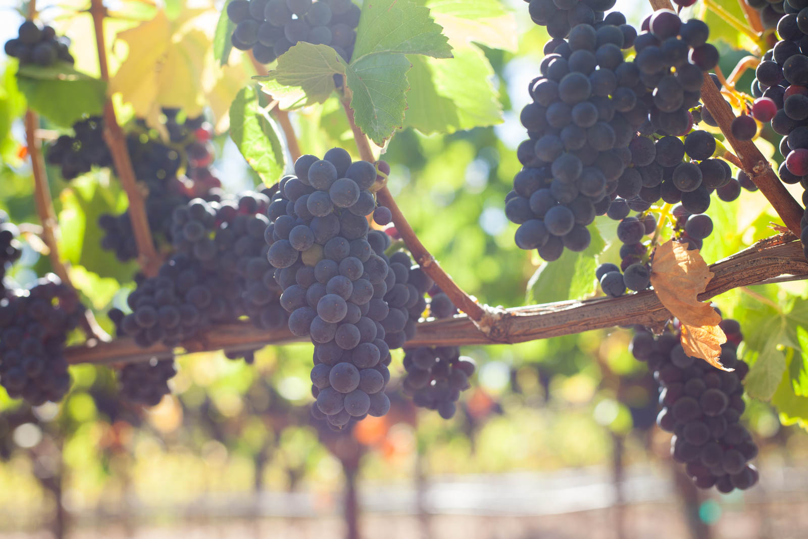 Pinot Noir grapes ripen up in the afternoon sun at Arista Winery. ©Kevin Day / Opening a Bottle