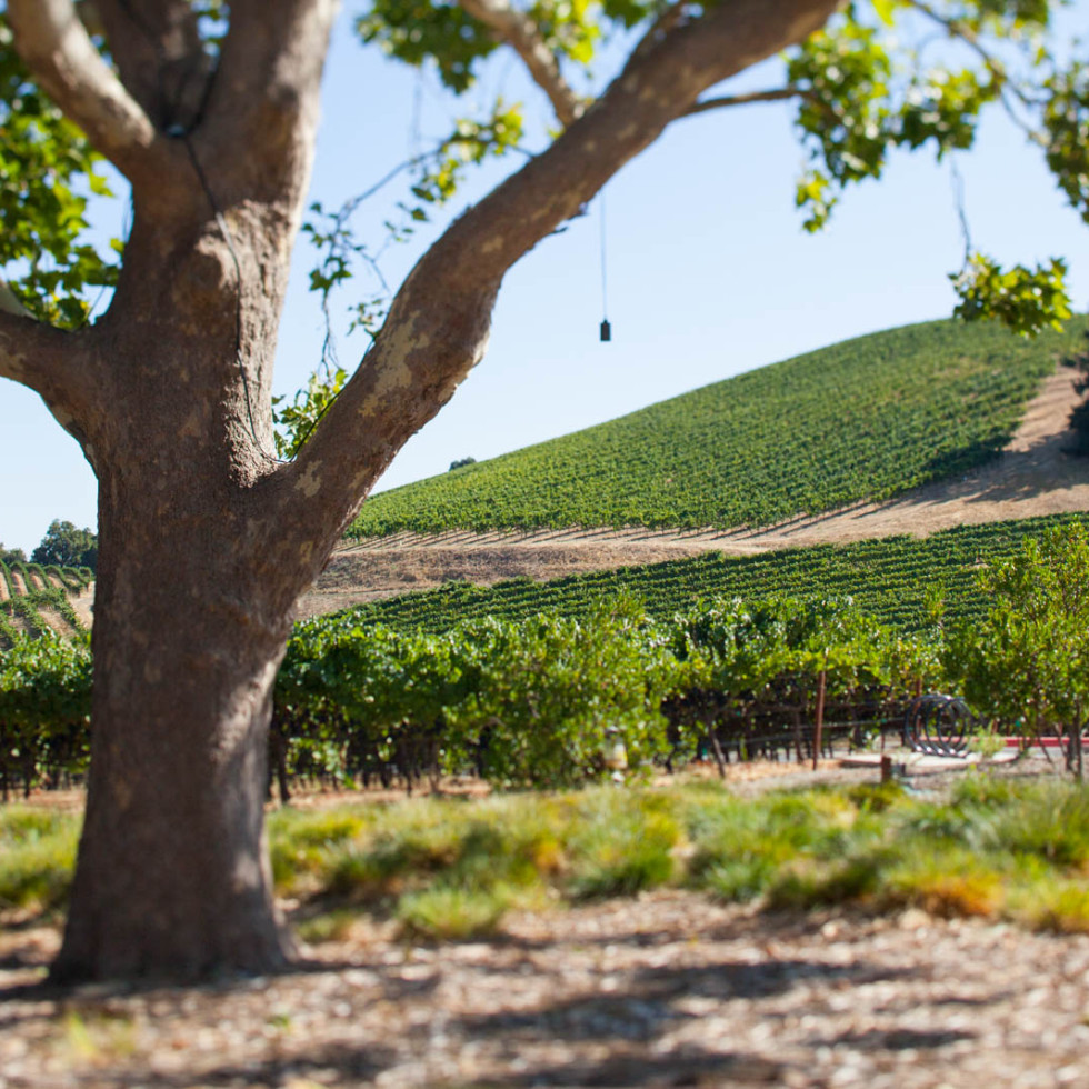 The vineyards at MacRostie Winery, Russian River, Sonoma, California