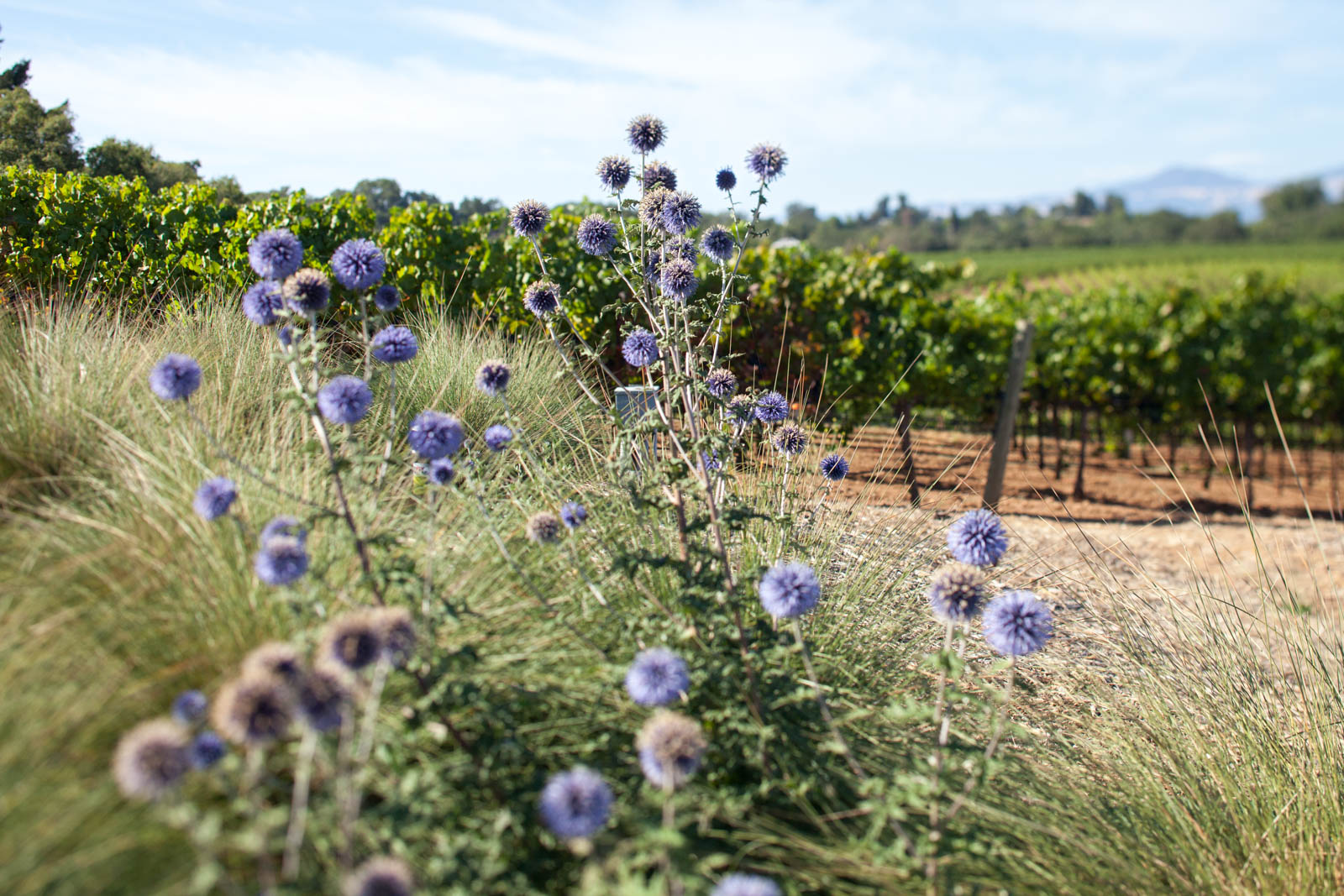 Scottish thistle are the emblem of MacRostie Winery and Vineyards — a tip of the cap to Steve MacRostie's heritage. ©Kevin Day/Opening a Bottle