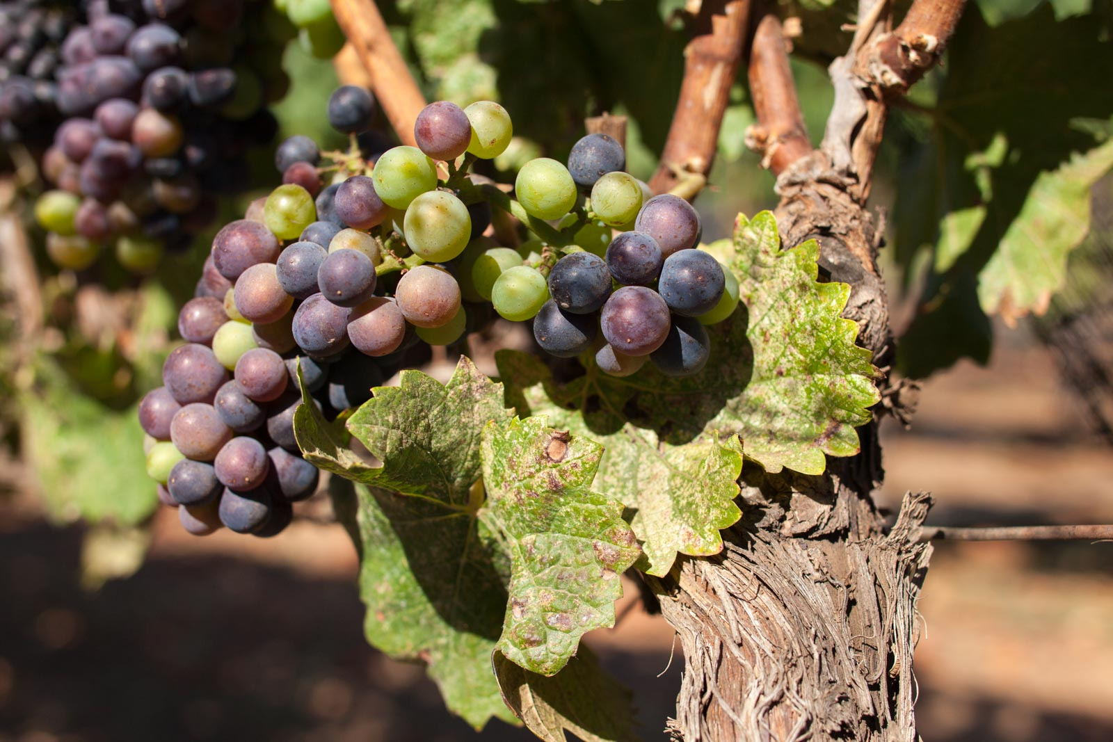 Pinot Noir grapes at Fort Ross Vineyard. ©Kevin Day / Opening a Bottle