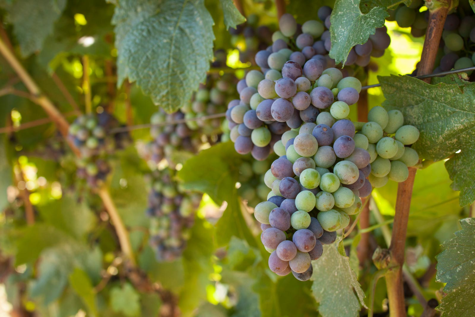 Pinotage clusters at veraison, Fort Ross Vineyard. ©Kevin Day / Opening a Bottle