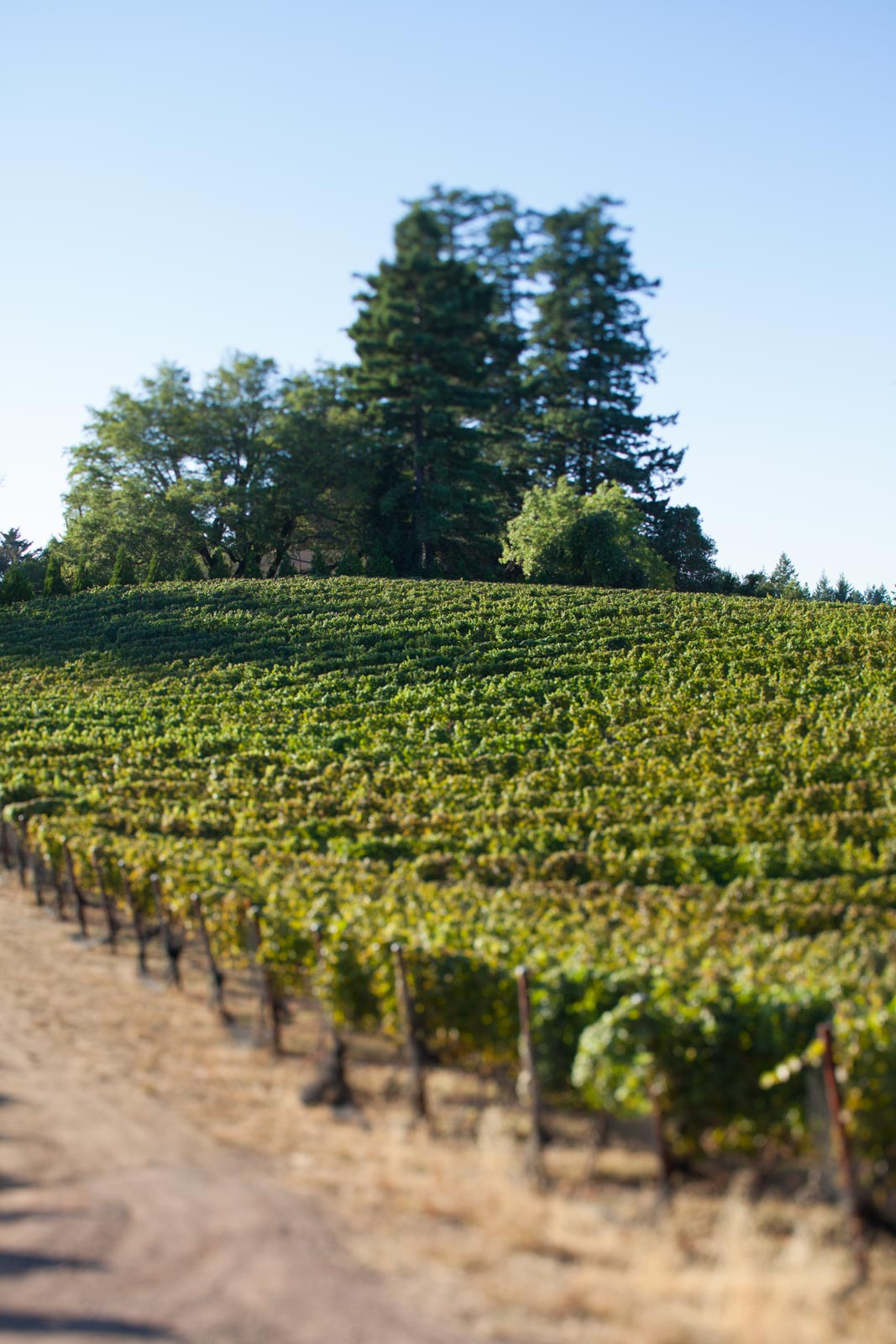 Vineyard at Fort Ross Vineyards & Winery, Jenner, California, Sonoma Coast. ©Kevin Day/Opening a Bottle