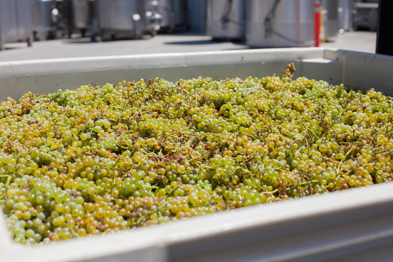 Chardonnay grapes from the Laurels Grade vineyard in Monterrey, just arrived from the truck at Copain. ©Kevin Day / Opening a Bottle