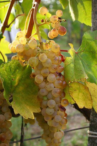 Hárslevelü grape cluster